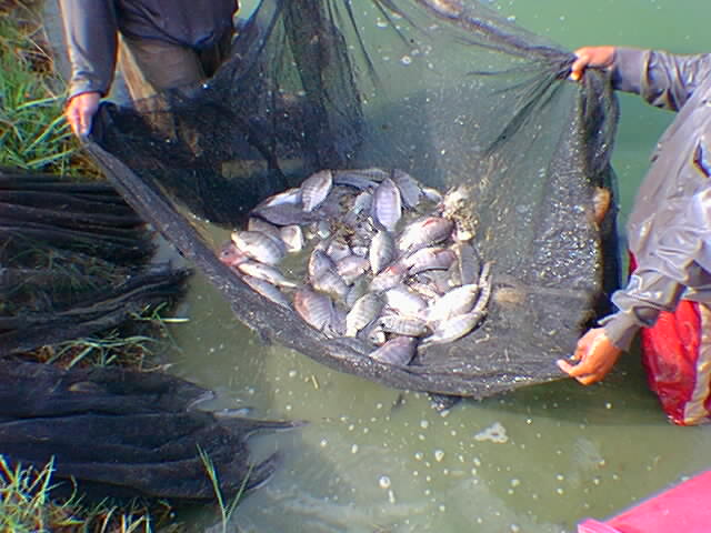 tilapia aquaculture in the philippines