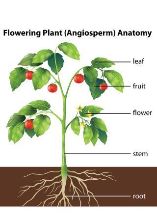 Plant Anatomy - EnchantedLearning.com
