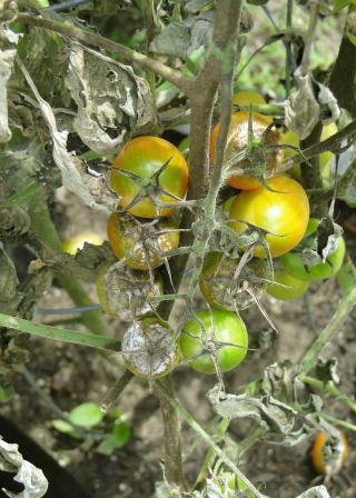 tomato plant with blight disease (Pixabay CC0:608290 / Dustytoes)