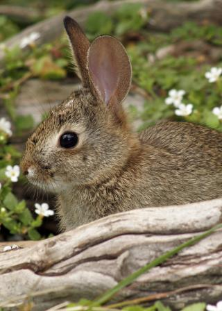 small cottontail rabbit behind log with white wildflowers in background (iStockphoto:1618497 (C) kevdog818)