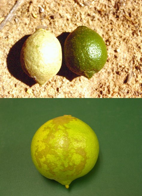 Insects and Mites of Arizona Citrus (ACIS)