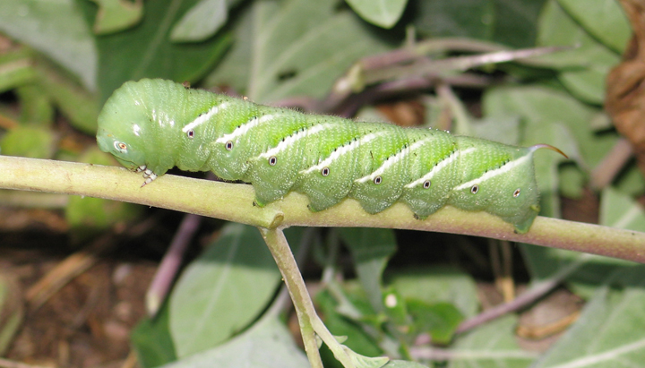 Hornworm Photograph