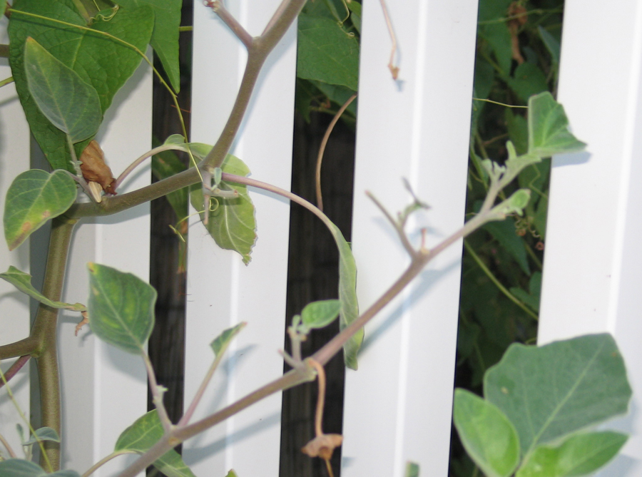 Photograph of Damage by Hornworm