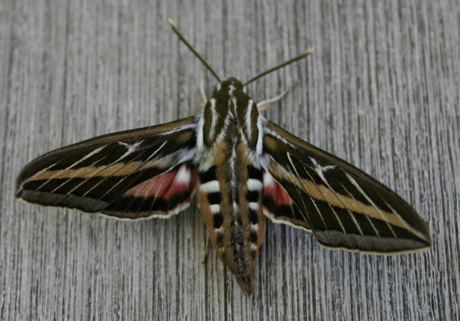 Sphinx Moth Photograph