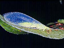 Adult Green Lacewing Photograph