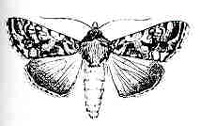 Image of cabbage looper moth
