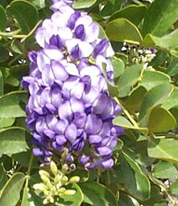 A Shrub Like Tree With Glossy Leaves And Purple Flowers That Smell Grape Kool Aid
