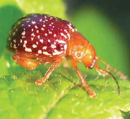 The Co-Evolution of a Beetle and a Plant