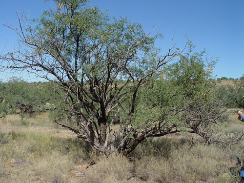 genetic change and mesquite invasion steve smith group university