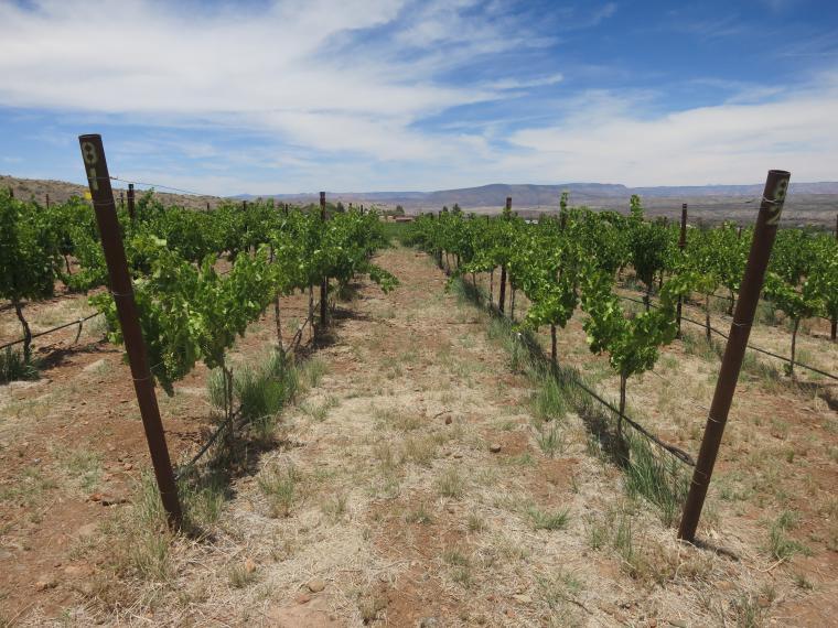 Yavapai College vineyard