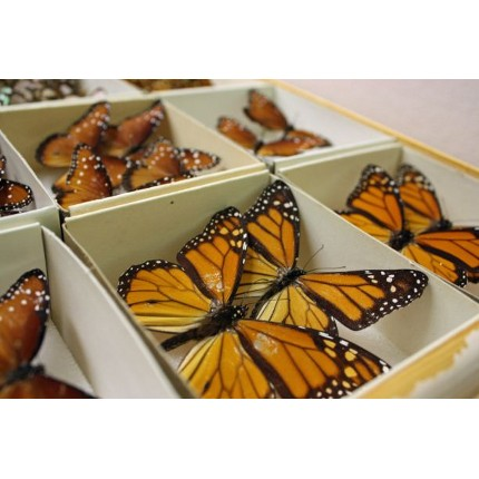 Because of the lack of space in the current cabinets, many insects in the UA Insect Collection share cramped quarters. Many butterflies are tiled, or placed with their wings overlapping to save space. (Photo by Beatriz Verdugo/UANews)