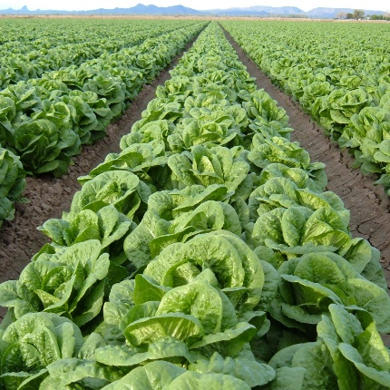 Arizona Cooperative Extension agents bring information on food safety to growers throughout the state – including those in Yuma, a leader in leafy greens production. (Photo by Kurt Nolte)