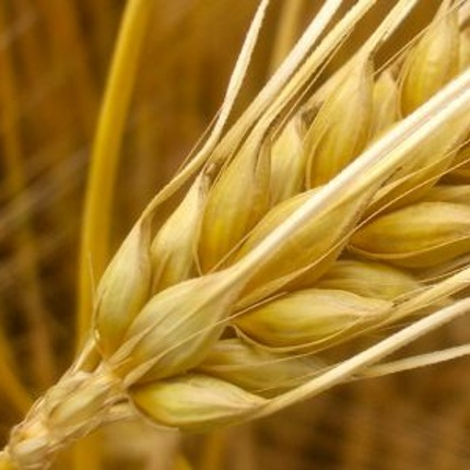 Barley has more genes than humans. (Photo: Alexander von Halem)