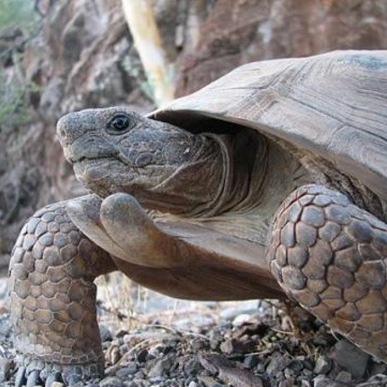 """Tortoises are bizarre, because they're probably the only protected and endangered species where people commonly keep them as pets throughout their native range,"" Edwards says. ""In some cases we may have more captive tortoises than we will wild ones."""
