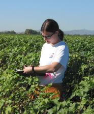 Patrolling the rows of Arizona cotton fields, UA graduate student Shannon Heuberger takes note of how many bees visit cotton flowers. She discovered that pollinating insects, widely believed to be the key factor in moving transgenic pollen into neighboring crop fields, had a small impact on gene flow compared to human farming activity. (Photo by Bob Van Deven)