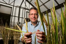 """We need to figure out a way to come up with a rice variety that can grow on less land, on poorer soil and with less water and fertilizer,"" said Rod Wing, a UA plant science professor. (Photo credit: Norma Jean Gargasz/UANews)"