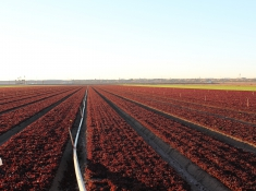Red lettuce field in Yuma. Photo Credit: Debbie Reed