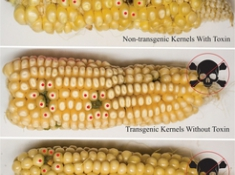 These corn cobs show the sites where they were infected with Aspergillus fungus. Although non-transgenic and transgenic kernels showed evidence of equal infection, the transgenics accumulated no toxin. Red dots mark the kernels harvested by the researchers to then determine toxin levels. (Photo: Monica Schmidt)