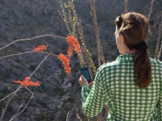 An observer in the Sonoran Desert records spring flowering phenology in an ocotillo. (Photo: Brian Forbes Powell)