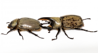 A female and male rhino beetle, also known as hercules beetle.  As the name implies, males have a horn-like structure that extends from the top of the thorax well beyond the beetle's head.