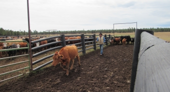"V Bar V superintendent Keith ""Bopper"" Cannon  guides a calf into a corral."