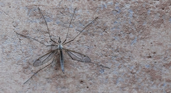 Crane fly on a wall