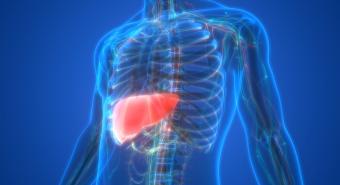 3D Illustration of the liver