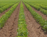 CALS-Developed Apps Aid Arizona Cotton Farmers