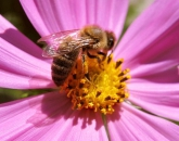 Your Secret Food Supplier: The Humble Honeybee
