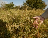 Bringing Policy and Law Into Fight Against Buffelgrass