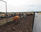 UArizona Beef Herd Undergoes Comprehensive Genetic Testing