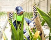 Biosystems Engineering Grad Helps Bayer Look for New Corn Pollination Windows
