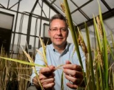 UA-Led Group Awarded $9.9M to Develop 'Super Rice'