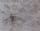 What's Up With All the Crane Flies?