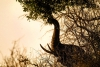 An elephant eating Marula trees on the African Savanna