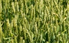 Upclose image of wheat growing in a field