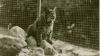 the first university mascot, a live bobcat named rufus, sits in his cage