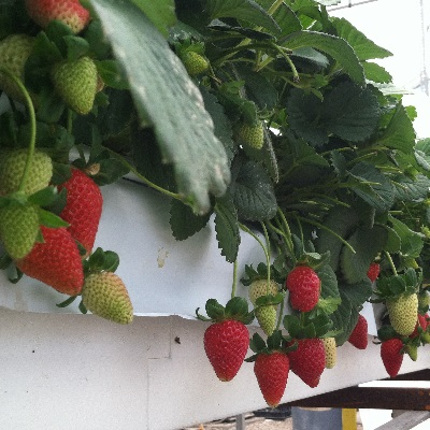 Hydroponically grown strawberries stay clean hanging three feet above the ground in the UA's strawberry project greenhouse. (Photo by Chieri Kubota)