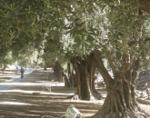 UA students seek funding for on-campus olive harvesting