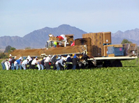 Lettuce harvest in Yuma, crew cut and package the product in the field.