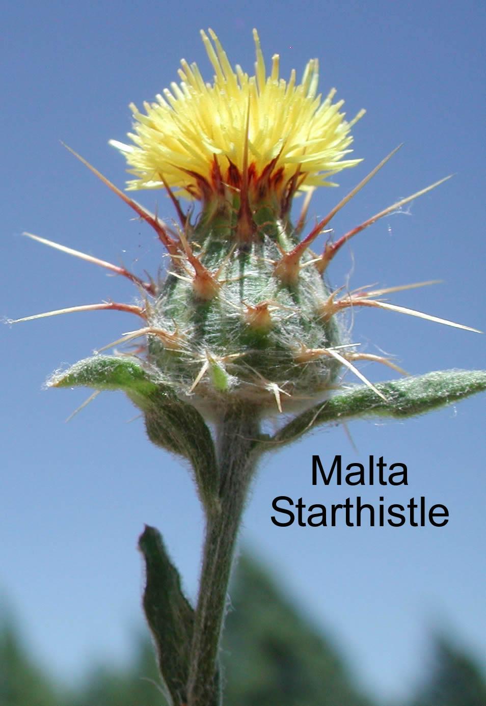 Backyard Gardener Yellow And Malta Starthistle April 27