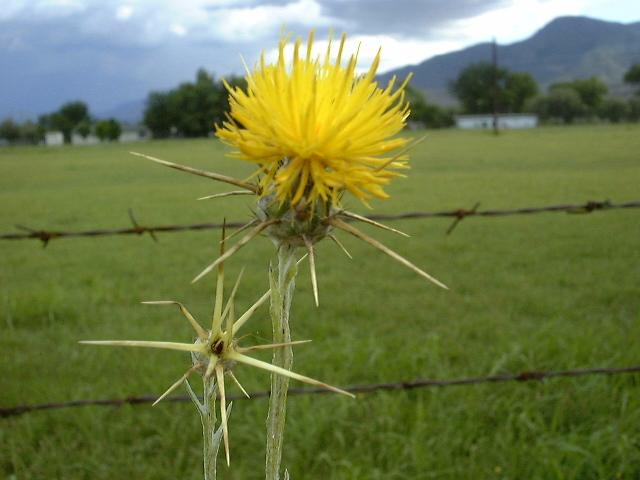 Backyard gardener yellow starthistle a serious local issue yellow starthistle flower mightylinksfo