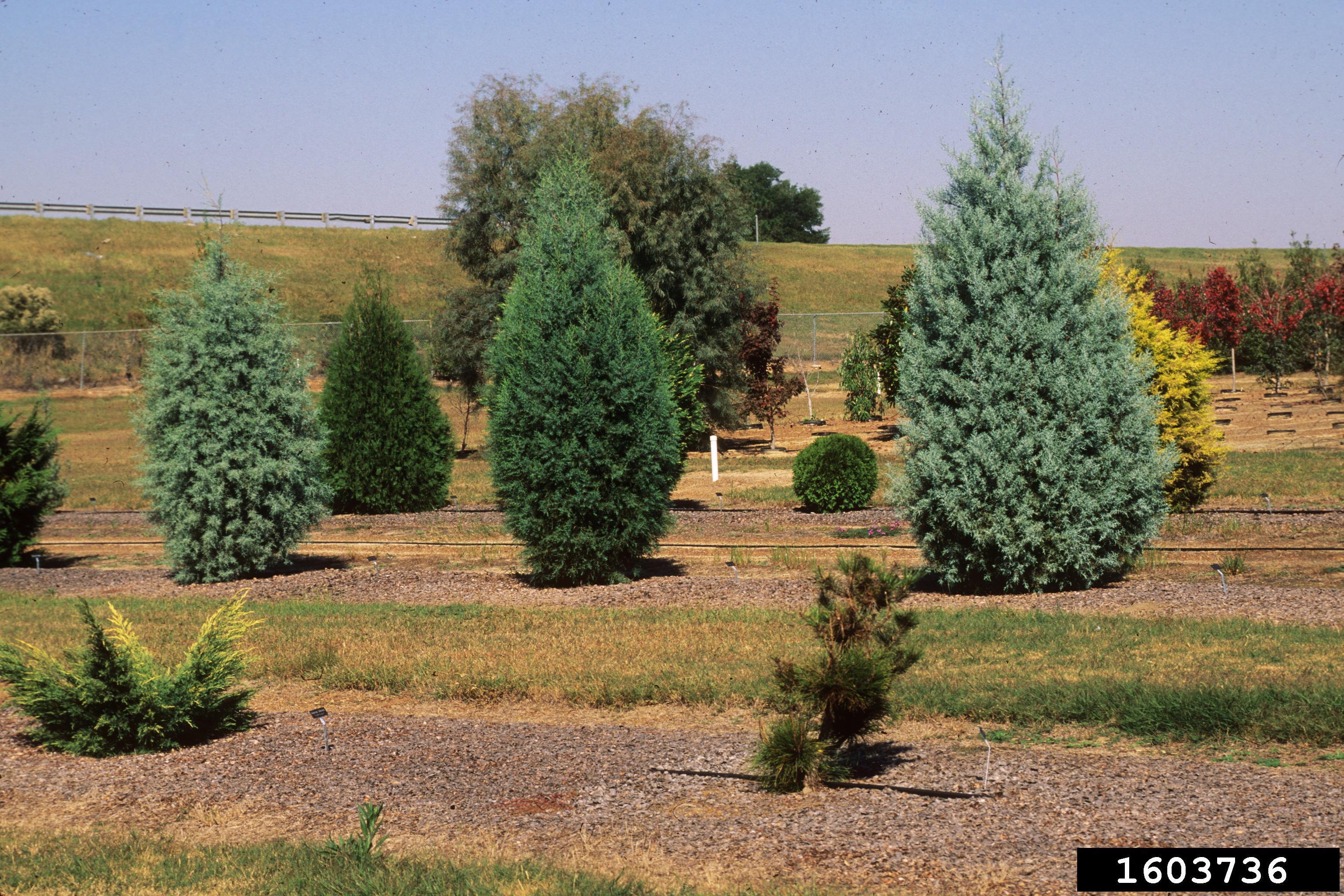 Backyard Gardener Arizona Cypress September 19 2018