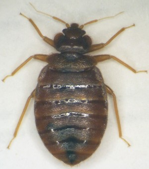 What type of pesticides kill bed bugs