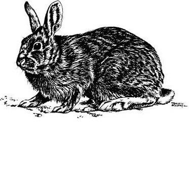 Backyard Gardener - Cottontail Rabbits - March 20, 2013