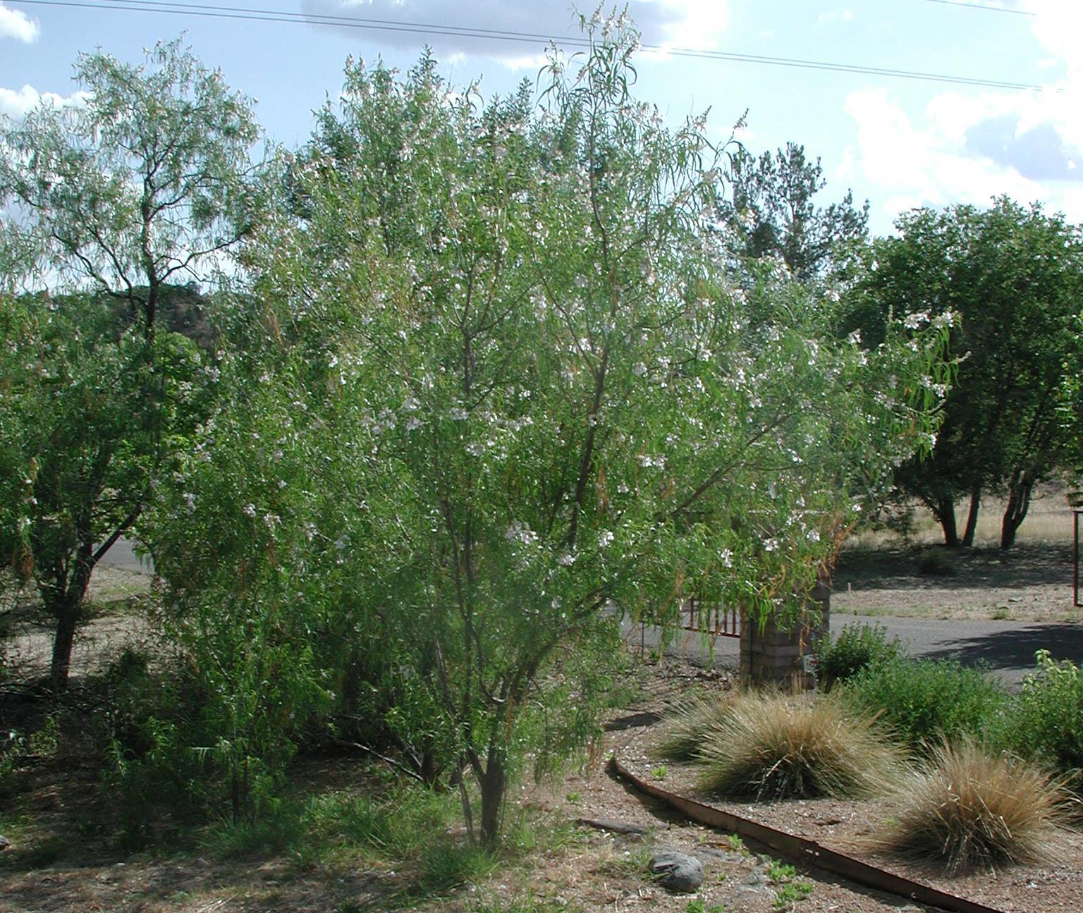 Backyard Gardener The Desert Willow Tree June 25 2014
