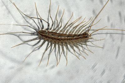 Backyard Gardener Centipedes May 3 2017