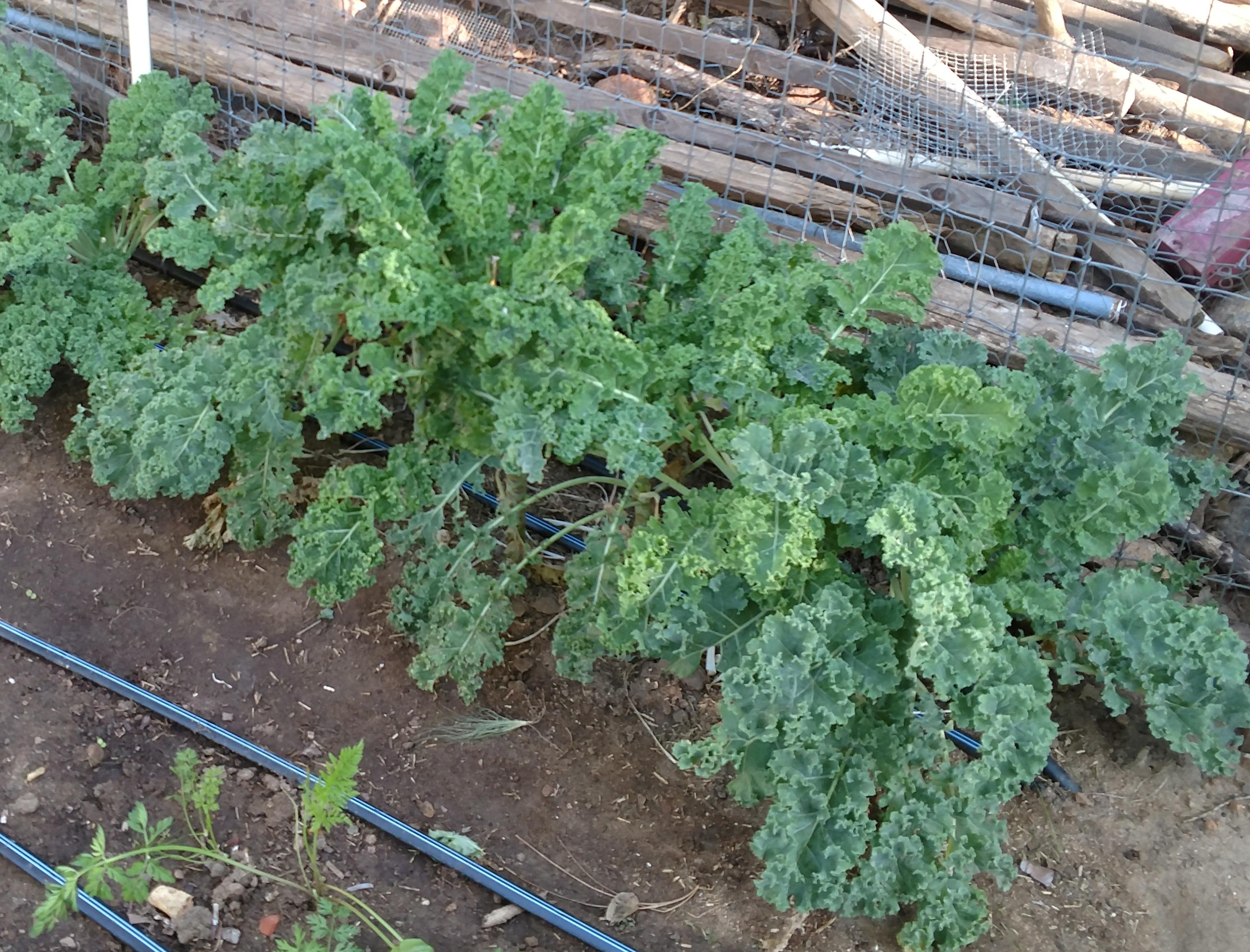 Backyard Gardener Growing Kale