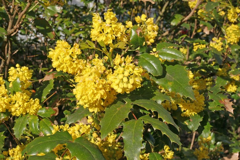 Backyard gardener oregon grape and its native relatives august backyard gardener oregon grape and its native relatives august 26 2015 mightylinksfo