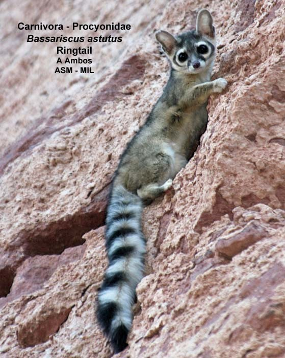 Backyard gardener the elusive ringtail july 5 2017 for Az game and fish phone number